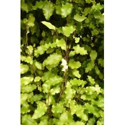 Olearia paniculata