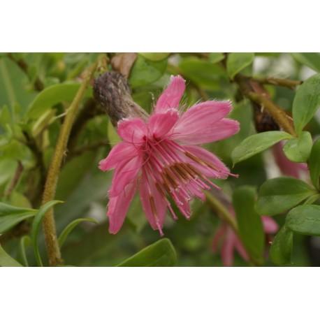 Barnadesia spinosa