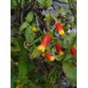 Manettia luteorubra (bicolor)