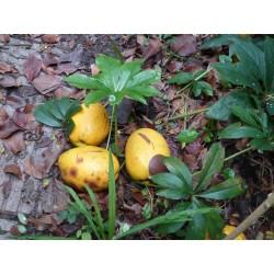 Chaenomeles (Pseudocydonia) sinensis