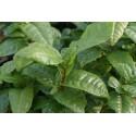 Camellia sinensis f. macrophylla