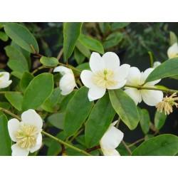 Magnolia (Michelia) dolsopa