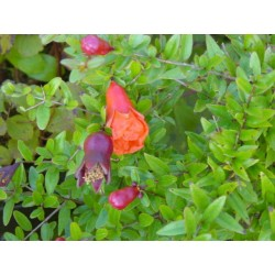 Punica granatum 'Provence'