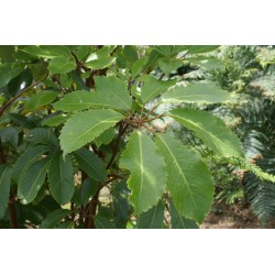 Neopanax arboreus