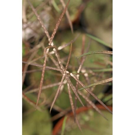 Parsonsia heterophylla