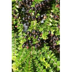 Luma apiculata 'Arven'