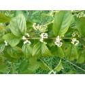 Callicarpa dichotoma f. albifructa