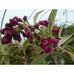 Buddleja colvilei 'Kewensis'