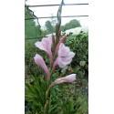 Watsonia wilmaniae