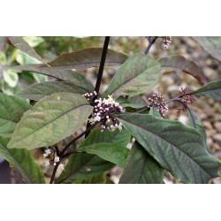 Callicarpa kwangtungensis