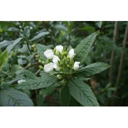 Bowkeria verticillata