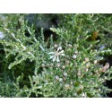 Olearia lepidophylla