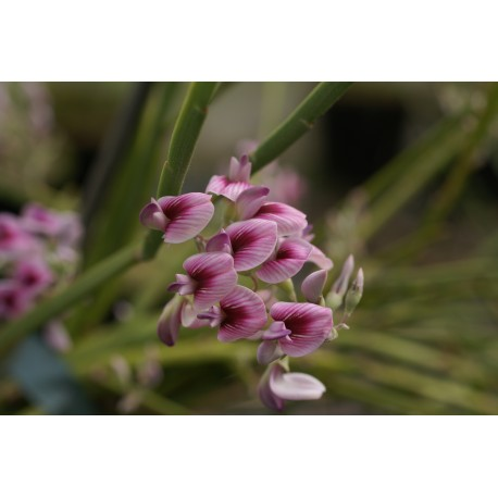 Carmispartium hutchinsii 'Wingletye'