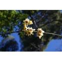 Chimonanthus praecox 'Grandiflorus'