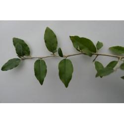 Elaeagnus formosana