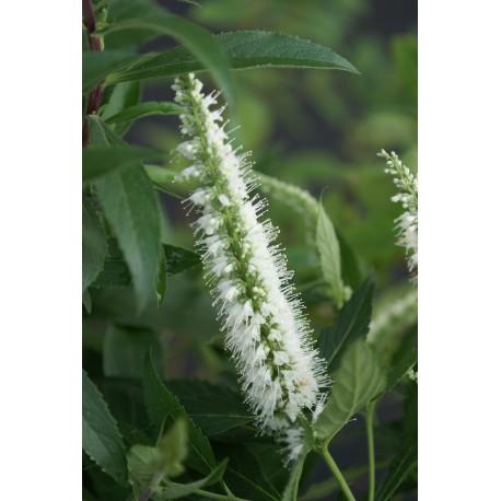 Elsholtzia stauntonii f. albiflora