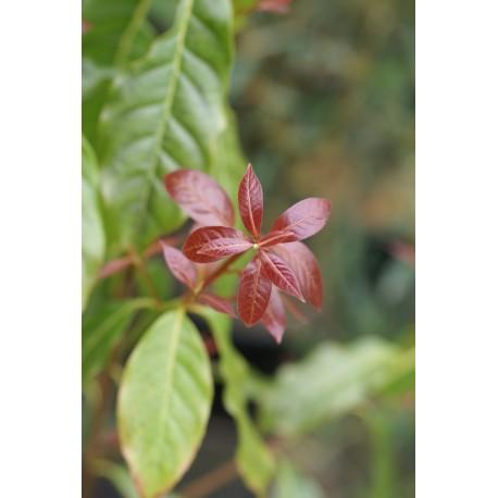 Huodendron tibeticum