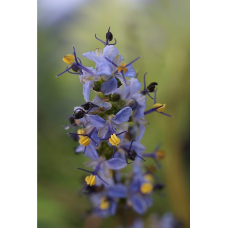Libertia sessiliflora