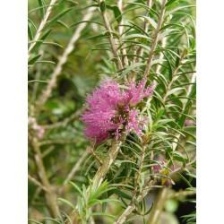 Melaleuca wilsonii