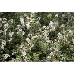 Olearia moschata